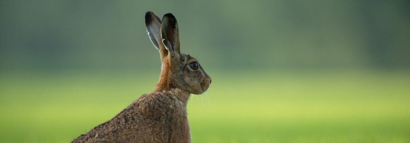luisterend konijn